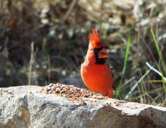 A male cardinal enjoys some fresh seed in November at the San Angelo State Park.