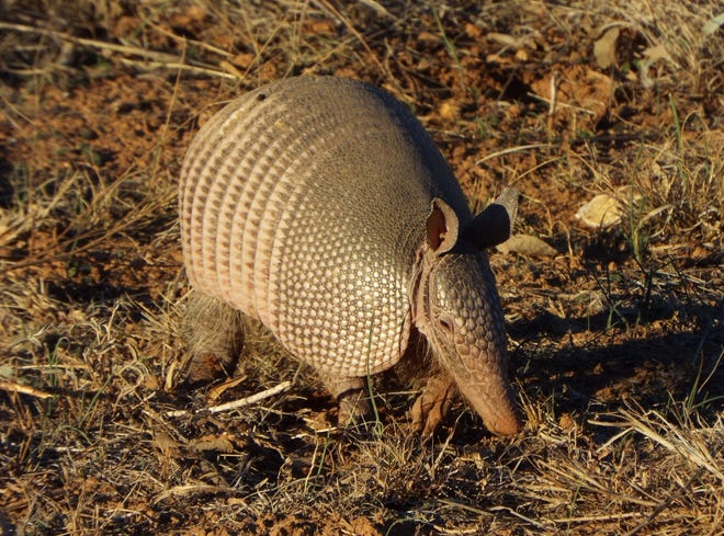 The 70-degree temps of early January brought out an armadillo to play.