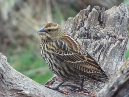 A female redwing blackbird having a morning snack at San Angelo State Park in early January.