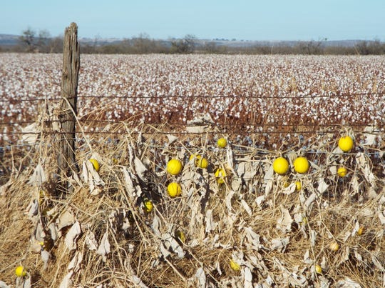 Wild gourds grow along a fence lining a cotton field near San Angelo in late November.