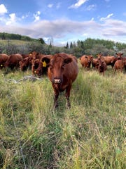 A herd of curious cows watches Louchouarn place a trail camera on the Spruce Ranching Co-op field site in Alberta, Canada.
