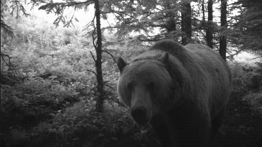 This bear is captured in a trail camera.
