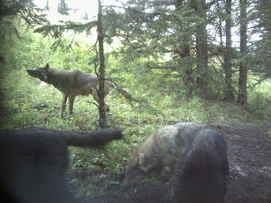 A pack of wolves sniffs around in front of a trail camera on the Spruce Ranching Co-op field site.