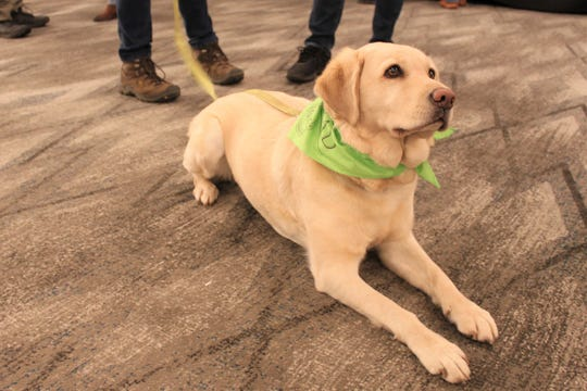 For the second year in a row Joey, a four year old Field Labrador, won the Joriad, the North American Truffle Dog Championship. Held in Eugene on January 23, 2020, Joey found 77 wild Oregon truffles in an hour, a new record for the event.