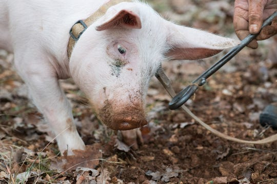 A piglet sniffs for 'Tuber melanosporum' truffels to be sold on a specialized market in Lalbenque, France, 26 December 2017. The 'Tuber melanosporum', also called 'Black Winter Truffle', is regarded one of the highest priced edible mushrooms and is sold at the Lalbenque truffles market for between 450 and 650 euros per kilo.