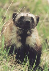 In this undated file photo is shown a wolverine in Glacier National Park, Montana.