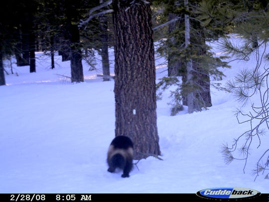 In this photo provided by the U.S. Fish and Wildlife Service, graduate student at Oregon State University, Katie Moriarty, got a picture of a wolverine on a motion-and-heat-detecting digital camera set up between Truckee and Sierraville, Calif. in the northern part of the mountain range on Feb. 28, 2008.