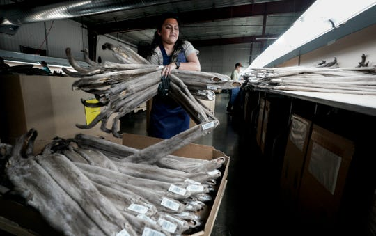 In this Jan. 7, 2020, photo, Claudia Manzanilla handle mink that will be graded for nap length at Saga Furs, one of only two other similar-sized fur auction houses in Stoughton, Wis.