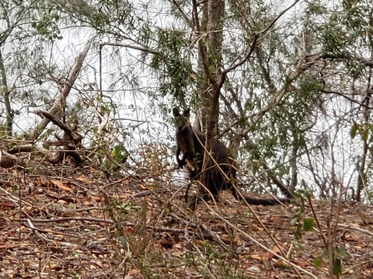 A wallaby peeks out from the brush in New South Wales. Nantahala National Forest senior firefighter Michael Williams said the Australian fires' impact to wildlife is devastating.