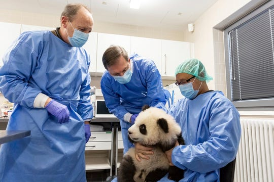 Vetrinarians Andreas Ochs, left, and Andrea Knieriem and zookeeper Yang Cheng check one of the panda baby twins in the zoo in Berlin, on Jan.24, 2020.