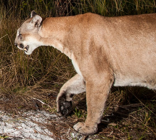 A male Florida Panther trips a motion sensor camera trap set up by News-Press Photographer Andrew West at Corkscrew Regional Ecosystem Watershed in mid January of 2020.