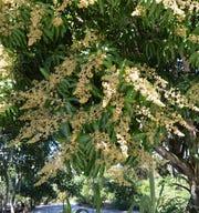 A mango tree in full flower