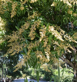 A mango tree in full flower