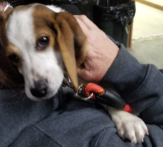 This beagle puppy will be given away to a lucky winner at the Maribel Sportsmen's Club's 31st annual Cottontail Classic on Feb. 8. Even if you don't hunt, you can stop in for some great food and try your luck at the raffles.