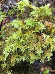 Oregon beaked moss, one of the varieties seen along the Alsea Falls Trail.