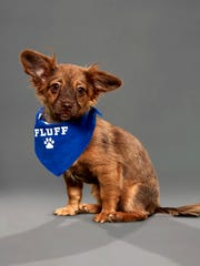 Darcy, from Ninna's Road to Rescue, will compete in Animal Planet's Puppy Bowl XVI on Feb. 2.