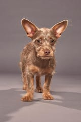 Darby, from Ninna's Road to Rescue, will compete in Animal Planet's Puppy Bowl XVI on Feb. 2.