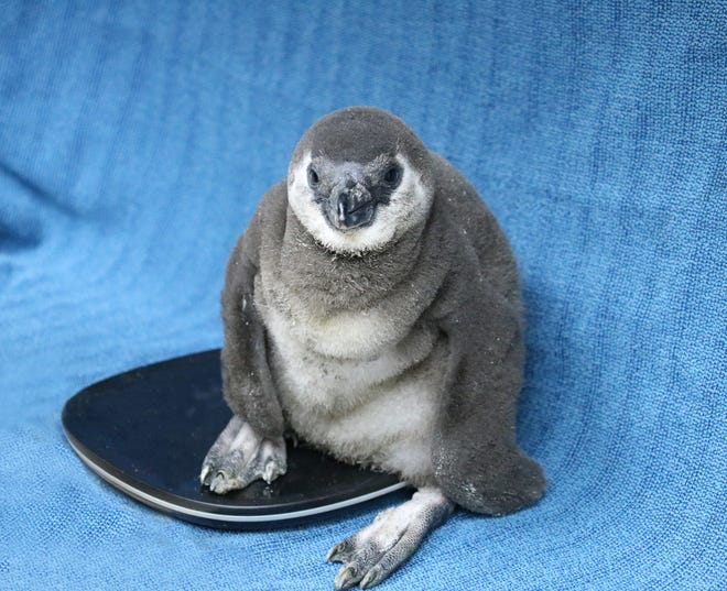This penguin chick will be the third chick in the Gulfarium's penguin colony that was born to parents Ninja and Jelly.