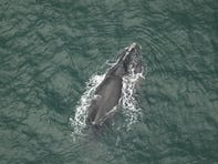 Jamie Glasner, owner of Fin & Fly Charters, Captain Parker Miley & guests saw a whale named Halo swimming with its calf Jan. 31, 2020, near Jetty Park