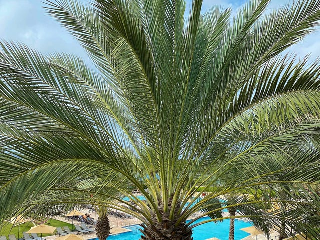 Identify This Variety Of Palm Tree