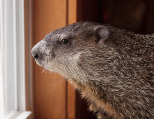 Woody the Woodchuck, Michigan's official groundhog, prepares to predict the beginning of spring in this 2017 photo at the Howell Nature Center.
