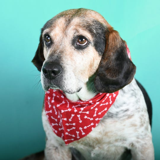 Dean, an 8-year-old beagle, was brought to the Kentucky Humane Society after a person witnessed him being dragged down the road by a rope around his neck.