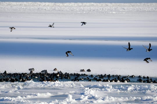 Ducksgather at  a small warm patch of water at the mouth of the Milwaukee River where it empties into the harbor of Lake Michigan, Wednesday, January 30, 2019.