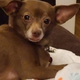 This is Coco, a chihuahua dachshund mix, who was found eating a cookie in York on Friday morning that may have been poisoned. York City Police's animal control officer is investigating.