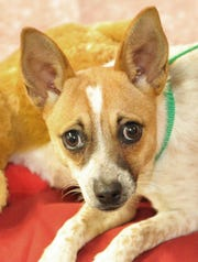Meet Chloe! She is a 4-month-old Chihuahua Healer, mix. She is good with people and gets along with other dogs. You can meet Chloe and all of her doggy friends at the Wichita Falls Animal Services Center.