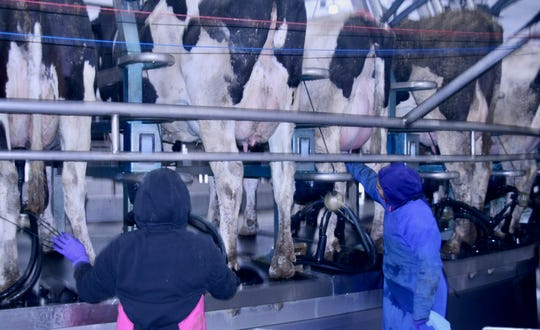 At Clinton Farms, two people handle milking for each of the three shifts. After the first cleans the cow's teats, the second attaches the milk machines.