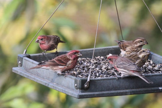 The winter-only purple finch (male, front, facing right), an irruption-year visitor, resembles year-round house finches (males, back left, front right). Male purple finches show raspberry color on sides, back, and wings. Brown wings and brown streaks mark sides of male house finches. Female purple finches (two, back right) wear striking face masks, distinguishing them from female house finches (not shown).