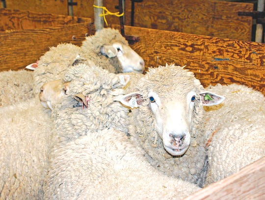 HREC, Hopland Research and Extension Center, University of California, Agriculture and Natural Resources, ANR. May, 2016. Sheep Shearing and Wool Classing Schools.