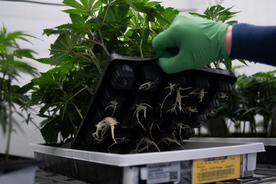 Roots from clones grown from mother plants pictured Monday, Jan. 27, 2020, at Green Peak Innovations in Dimondale, Michigan.