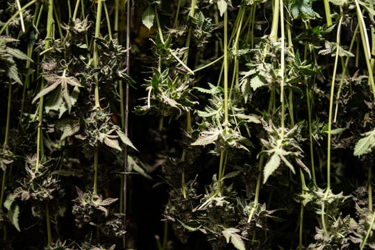 Marijuana plants hung out to dry, pictured Monday, Jan. 27, 2020, at Green Peak Innovations in Dimondale, Michigan.