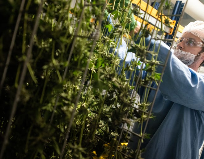 Cultivation technician Luke Snyder works a drying room where marijuana buds are cured in a highly-controlled environment to ensure mold-free product, pictured Monday, Jan. 27, 2020, at Green Peak Innovations in Dimondale, Michigan.