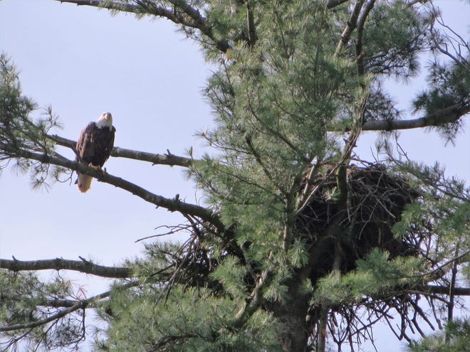A mature bald eagle sits on a branch near its nest in Wisconsin.