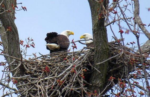 A pair of bald eagles stands in a nest in Wisconsin. In 2019, the DNR documented bald eagle nests in 71 Wisconsin counties; only Milwaukee County is without a breeding pair.