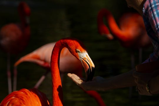 A guest feeds a flamingo, Tuesday, Jan. 28, 2020, at the Everglades Wonder Gardens in Bonita Springs.