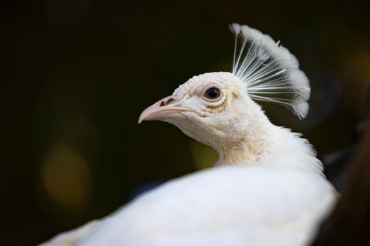 An albino peacock is pictured, Tuesday, Jan. 28, 2020, at the Everglades Wonder Gardens in Bonita Springs.