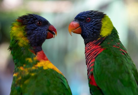 A pair of lorikeets are pictured in the new Terry and Arlene Riegel Lorikeet Pavilion at the Everglades Wonder Gardens in Bonita Springs on Tuesday, Jan. 28, 2020.