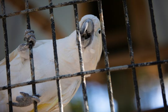 Casey the cockatoo plays in his enclosure, Tuesday, Jan. 28, 2020, at the Everglades Wonder Gardens in Bonita Springs.
