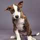 Dracula, Team Ruff, a former shelter dog from Las Cruces, will be featured in this year's Puppy Bowl XVI on Animal Planet on Sunday, Feb. 2.