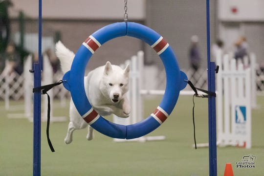 A Siberian Husky named Nanuk, owned by Rusty Boone, going thru a jump during agility training.