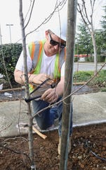 Jim Van Ornum of MR Construction ties up a trident maple that he helped plant on Oregon Street near Shasta Street on Wednesday, Jan. 29, 2020. Some 100 shade trees are being planted in downtown Redding as part of a city project.