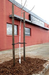 Here's one of the two Chinese pistache trees that were planted on the south side of the Chain Gang Bike Shop on Center Street in Redding as part of the city's Community Services downtown tree project.