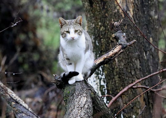 An apparently feral cat watches volunteers in the Henderson Open Space on Tuesday, Jan. 28, 2020, during the annual Point-in-Time homeless survey.