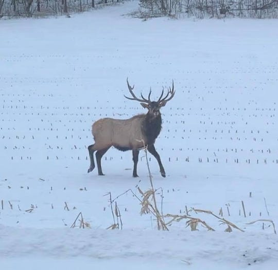 Jana Knapp and her 9-year-old son found an elk while driving along U.S. 12 in Warrens, Wisconsin