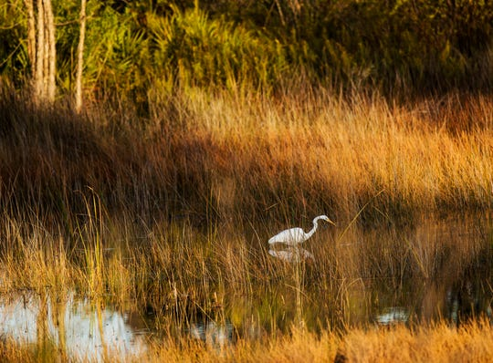 A Great egret forages for food in a marsh in Bonita Bay on Thursday Jan.30, 2020.