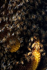 Bees are seen on a large hive in a preserved area at Bonita Bay on Thursday Jan. 30, 2020.