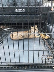 A wounded bobcat was captured in Jackson County and taken to a rehabilitation center for treatment.